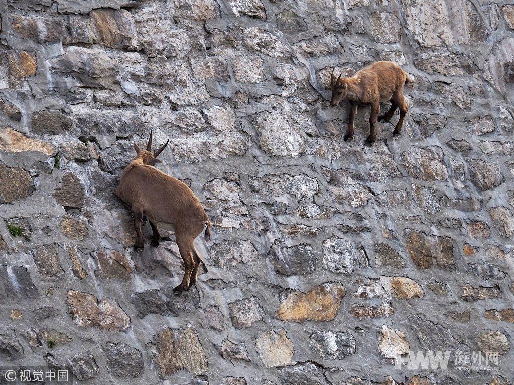 挑战地心引力!意大利山羊爬上陡峭大坝
