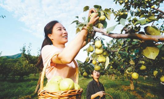 京白梨丰收 产量喜人
