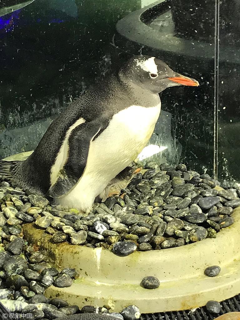 动物界的壮举!悉尼水族馆两只雄企鹅合作孵出幼崽