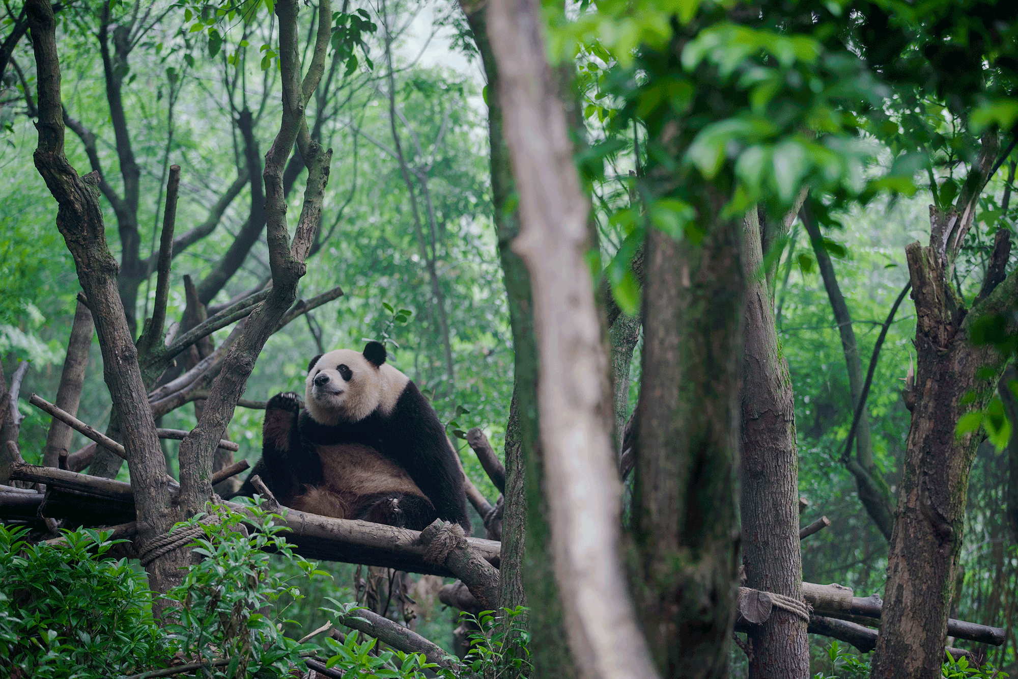 大熊猫小丫