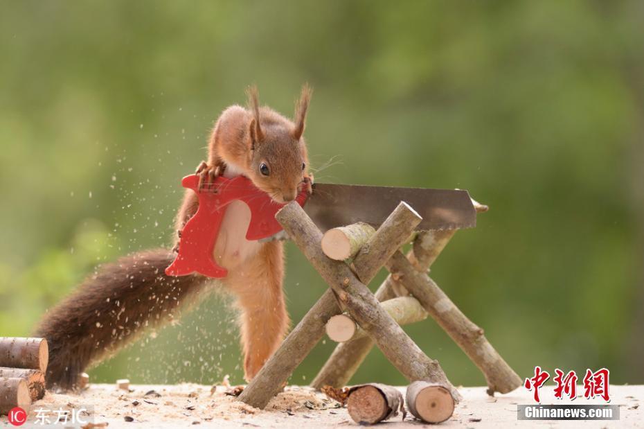 摄影师拍松鼠砍柴生火 鼠模人样令人捧腹