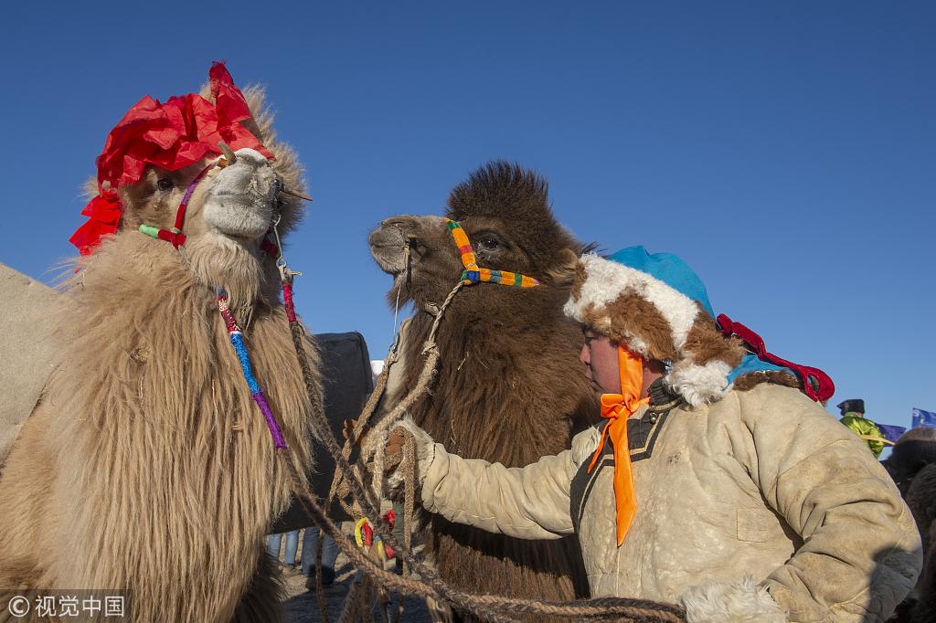 骆驼选美服装走秀 冬季那达慕全民参与