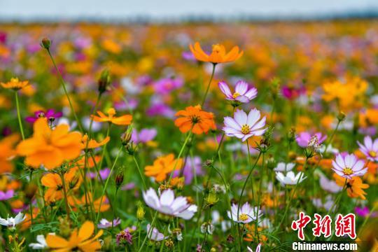 图为千亩花海里争相绽放的格桑花、硫华菊。 骆云飞 摄