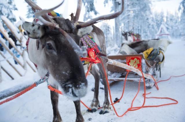 """临近春节,芬兰圣诞老人村的驯鹿也换上了节日""""新装"""".jpeg"""