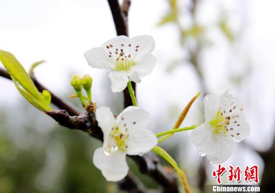 """广西柳州春雨绵绵万亩梨园现""""梨花带雨""""景致"""