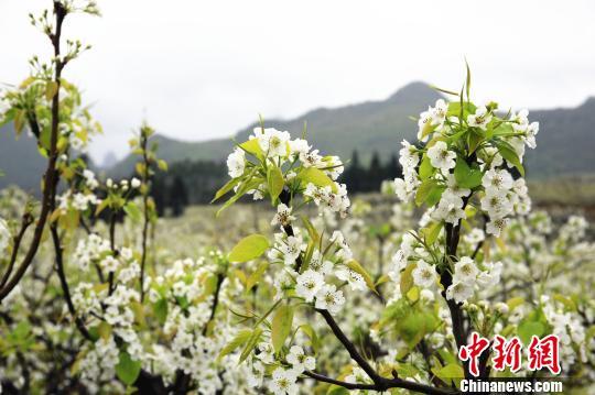 绽放的梨花。 朱柳融 摄