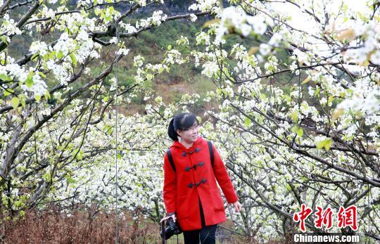 一女子走在梨花树下。 朱柳融 摄