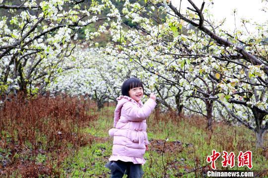 一小女孩在梨花树下游玩。 朱柳融 摄