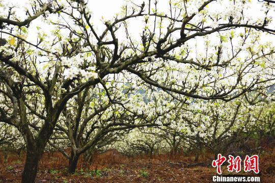 梨花盛开,犹如玉树琼花。 朱柳融 摄