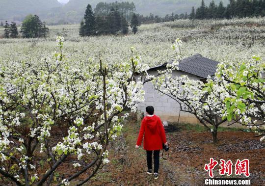 一女子行走在梨园中。 朱柳融 摄