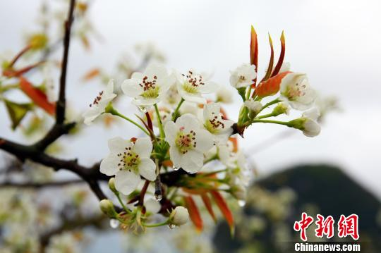"""春雨落在梨花上,呈现""""梨花带雨""""景致。 朱柳融 摄"""