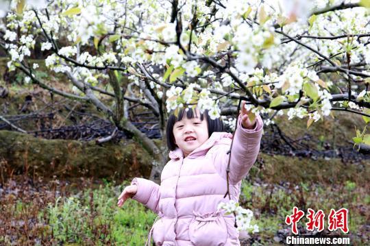 梨园中,小女孩与梨花亲密接触。 朱柳融 摄