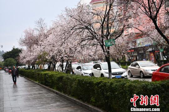 古城街道盛开的鲜花。 张晓东 摄