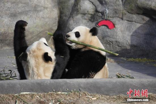 """当地时间3月18日,两只大熊猫双胞胎""""加盼盼""""、""""加悦悦""""在多伦多动物园内打闹争食。大熊猫们即将从加国第一大城市多伦多迁居至石油城卡尔加里,当日是它们在多伦多与公众见面的最后一天。大熊猫""""大毛""""和""""二顺""""于2013年3月25日来到加拿大。按照中加双方的协议,它们要在多伦多和卡尔加里各居住5年。2015年10月,接受了人工授精的""""二顺""""在多伦多产下双胞胎""""加盼盼""""、""""加悦悦""""。 <a target='_blank' href='http://www.chinanews.com/'>中新社</a>记者 余瑞冬 摄"""