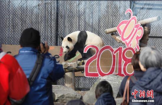 """当地时间3月18日,不少民众赶至多伦多动物园,为中国租借给加拿大的4只大熊猫送行。大熊猫们即将从加国第一大城市多伦多迁居至石油城卡尔加里,当日是它们在多伦多与公众见面的最后一天。大熊猫""""大毛""""和""""二顺""""于2013年3月25日来到加拿大。按照中加双方的协议,它们要在多伦多和卡尔加里各居住5年。2015年10月,接受了人工授精的""""二顺""""在多伦多产下双胞胎""""加盼盼""""、""""加悦悦""""。 <a target='_blank' href='http://www.chinanews.com/'>中新社</a>记者 余瑞冬 摄"""