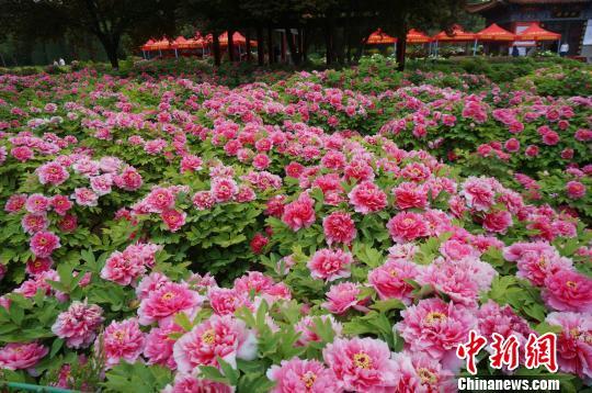 大面积的牡丹花盛开蔚为壮观。 韩章云 摄