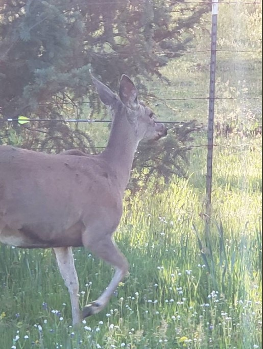 美国野生鹿头颈被利箭射穿 仍淡定吃草散步(图)