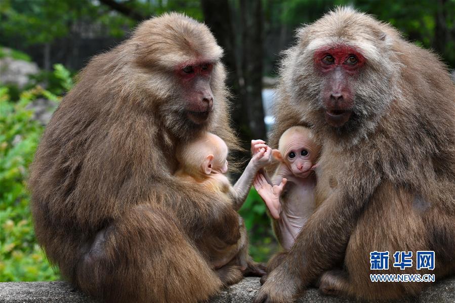 (生态)(5)福建武夷山:猕猴与人和谐相处