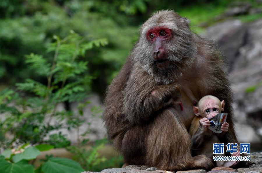(生态)(6)福建武夷山:猕猴与人和谐相处