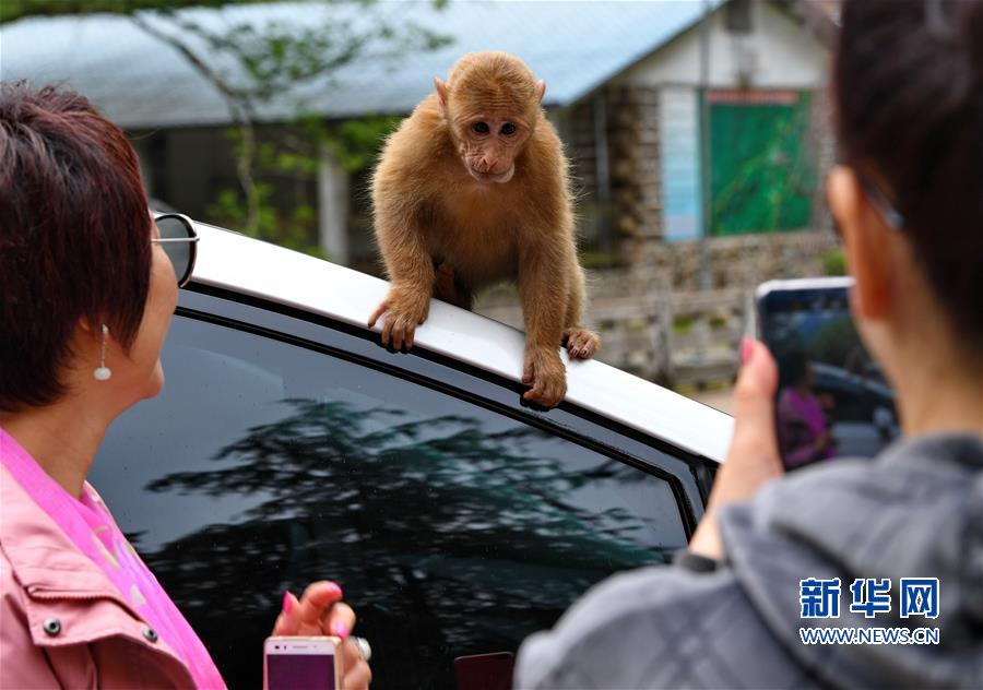 (生态)(4)福建武夷山:猕猴与人和谐相处
