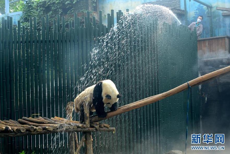 北京动物园大熊猫:天太热,来点清凉