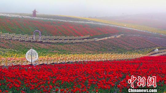 奇台江布拉克景区150万株郁金香绽放犹如一个巨大花毯。 王小军 摄