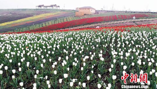 奇台县江布拉克景区栽植的150万株各色品种的郁金香竞相绽放。 王小军 摄