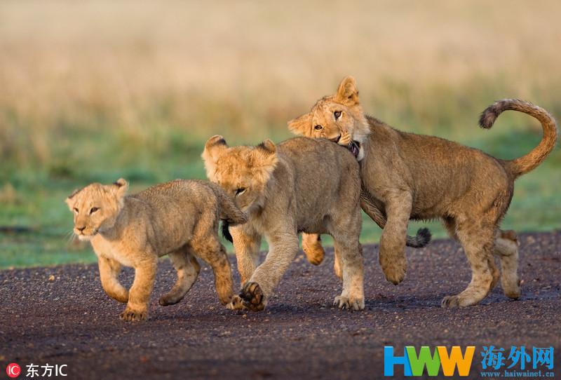 世界狮子日 草原之王也有呆萌一面