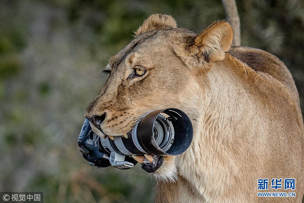 """摄影师很无奈!狮子将相机当""""磨牙棒"""""""