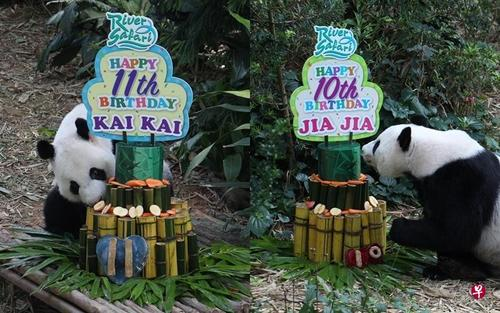 中国侨网新加坡野生保育集团今天为大熊猫凯凯(左)和嘉嘉庆生。(新加坡《联合早报》)
