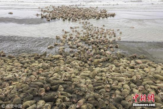 资料图:3月30日消息,在美国阿拉斯加州阿留申群岛,海冰融化迫使成千上万的海象聚集海岸。63岁的兽医和动物保护者Rick Beldegreen捕捉到了这一奇观。海象是一种群居性的动物,但一般只有几百只,成千上万的海象群却很少见。 图片来源:视觉中国