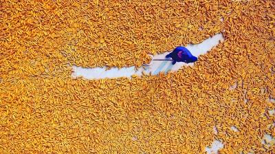 玉米丰收晾晒忙