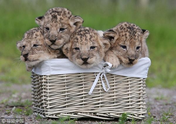 6-幼狮.jpg