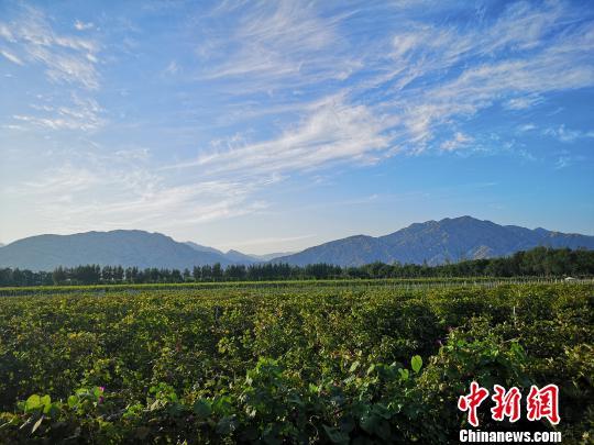 """贺兰山下,正在向世界讲述着宁夏的""""紫色梦想""""。 李佩珊 摄"""