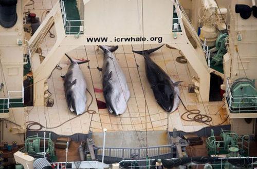 """国际""""海洋守护者""""组织航拍日本捕鲸船屠宰鲸鱼照片_副本.jpg"""