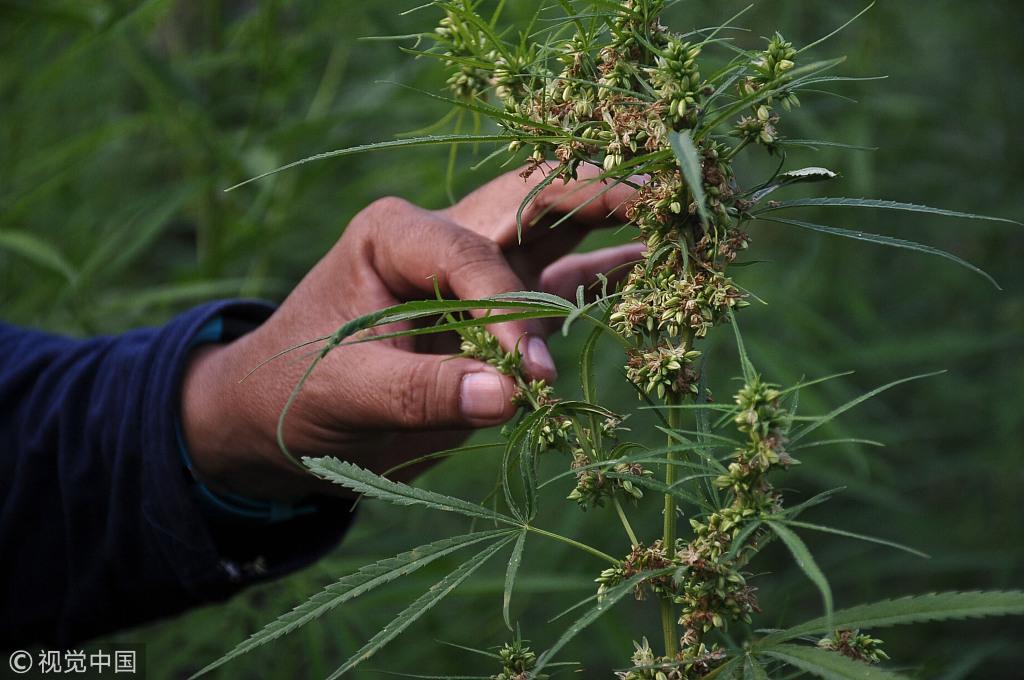 印尼警方摧毁3公顷大麻田