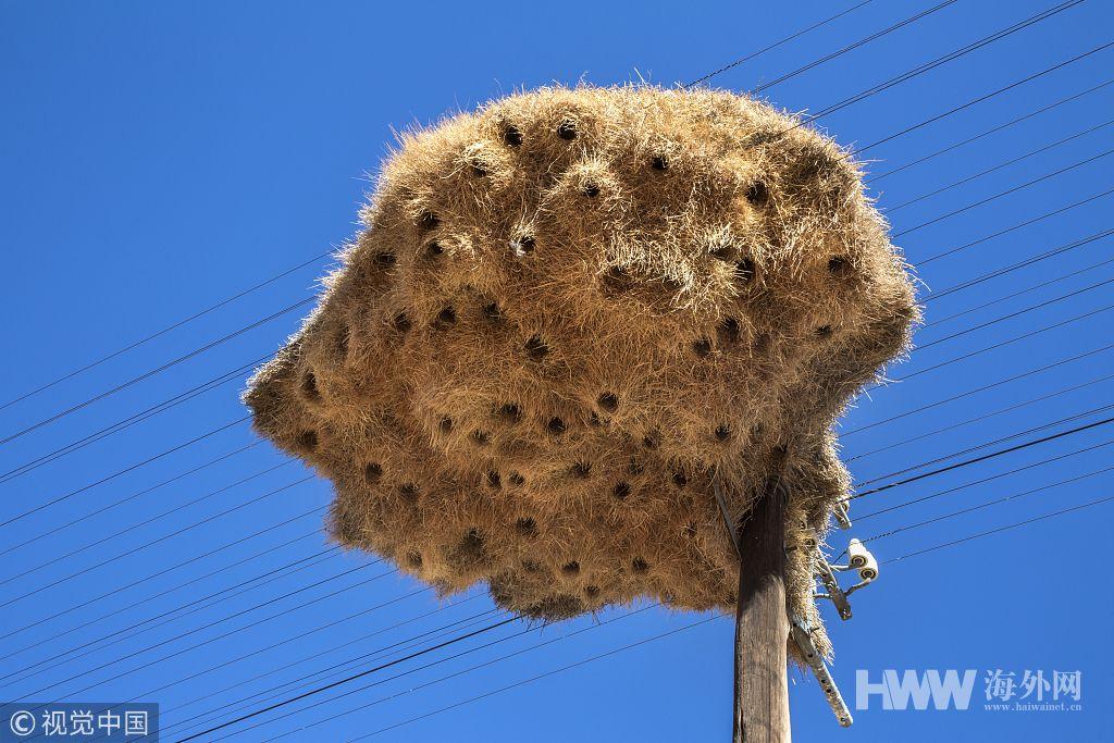 壮举!南非荒漠巨型鸟巢可容纳约500只鸟