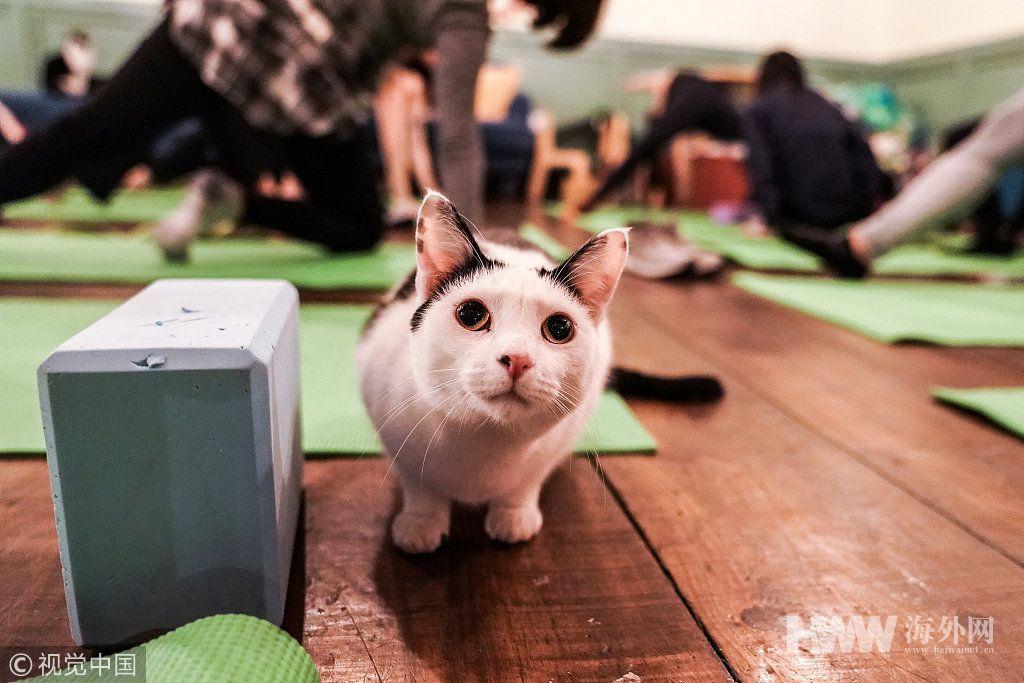 """纽约一家猫咖开办瑜伽课 猫咪成""""陪练"""""""