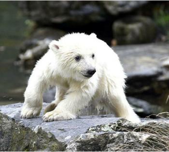 德国动物园新生北极熊初次亮相