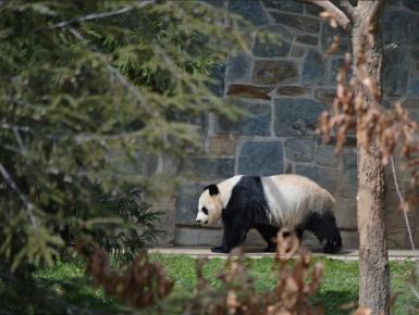 居港大熊猫正值繁殖期 香港海洋公园暂关熊猫馆