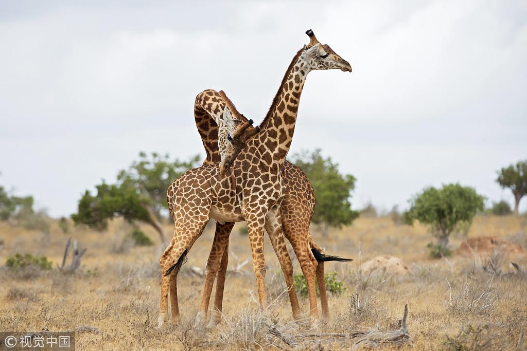 """肯尼亚两只长颈鹿相互缠打 上演""""脖子消失""""奇特画面"""