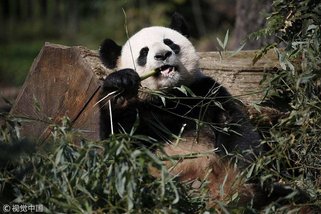 旅德大熊猫安静啃竹子 怡然自得萌翻全场