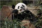 大熊貓啃竹子超萌