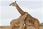 兩只長頸鹿相互纏打