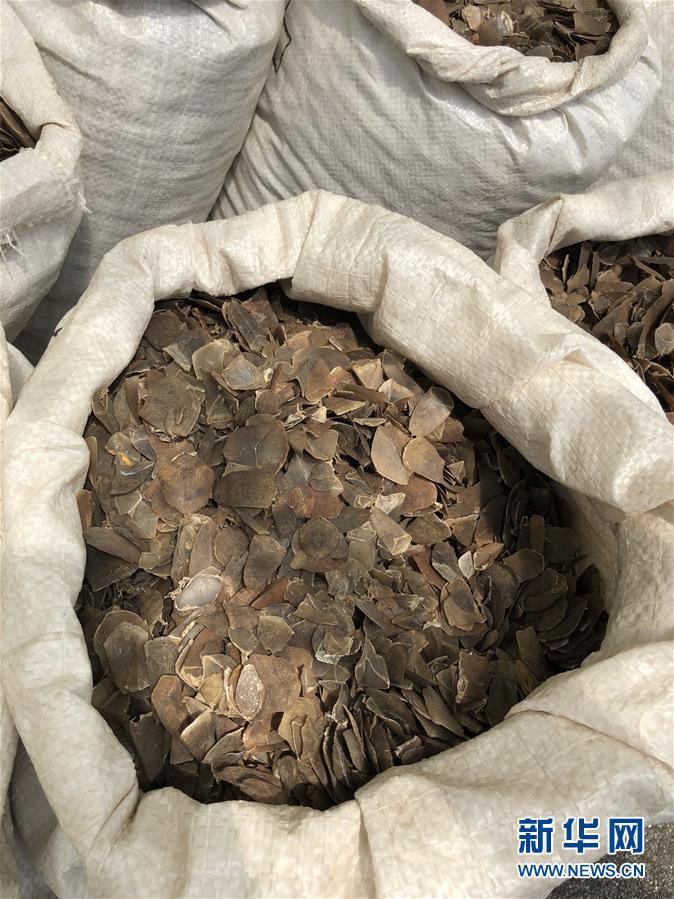 新加坡查获近13吨穿山甲鳞片