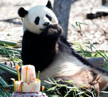 旅德大熊猫进入交配期 园方盼年内产仔