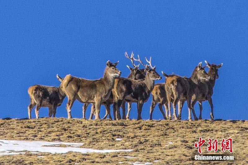"""多种珍稀野生动物""""现身""""甘肃肃南"""
