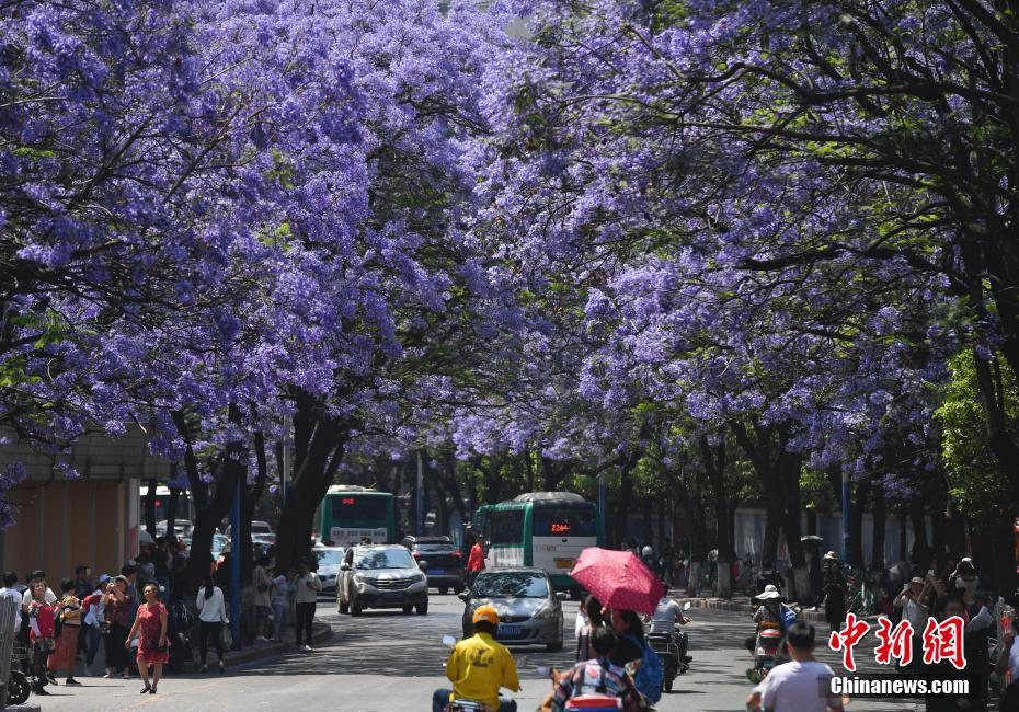 昆明蓝花楹盛开 吸引民众观赏
