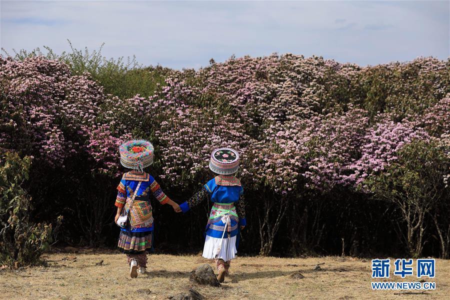 四川盐边县:十余万亩野生杜鹃花盛开