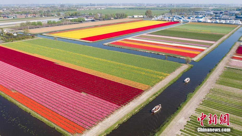 航拍荷蘭郁金香田 百萬朵鮮花盛開如萬花筒般絢麗